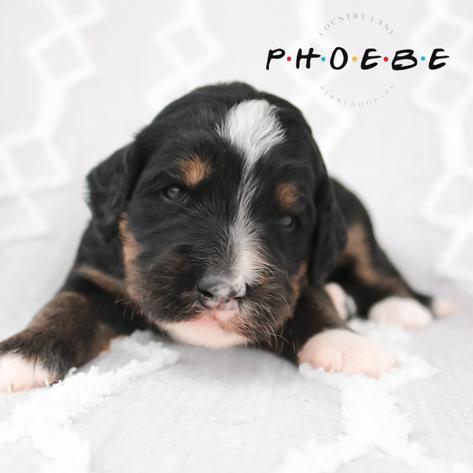 Phoebe - Pink Collar Female