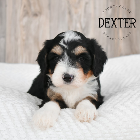 Male Brown Collar - Dexter