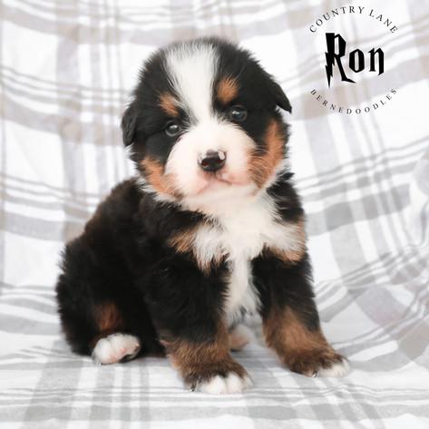 Male Grey Collar - Ron