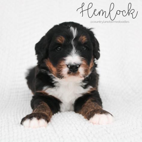 Hemlock Male Black