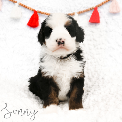 Male Red Collar - Sonny