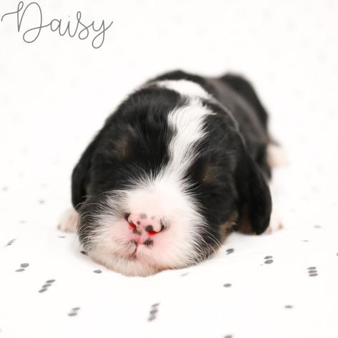 Female Orange Collar - Daisy
