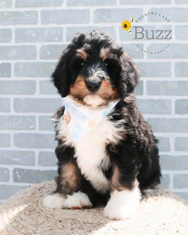 Buzz - Male Red Collar