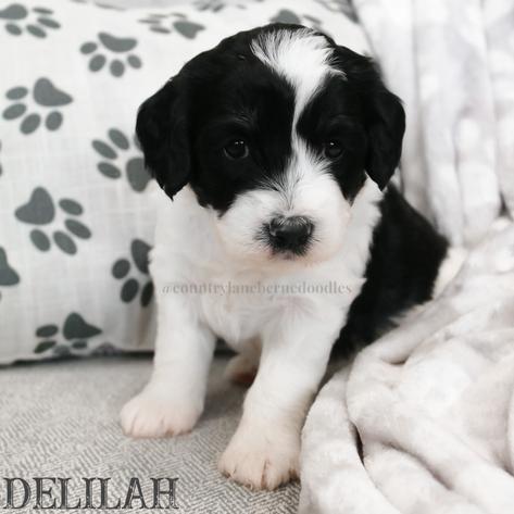 Delilah - Female Yellow Collar