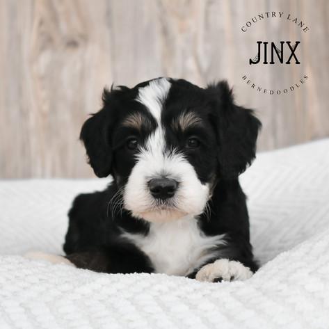 Male Green Collar - Jinx