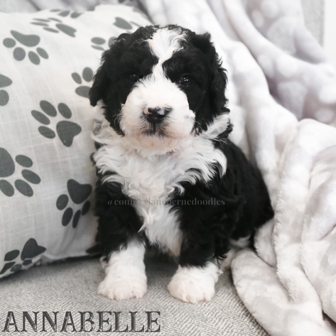 Annabelle - Female Pink Collar