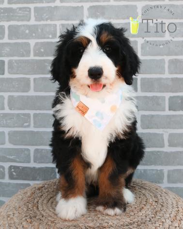 Tito - Male Yellow Collar