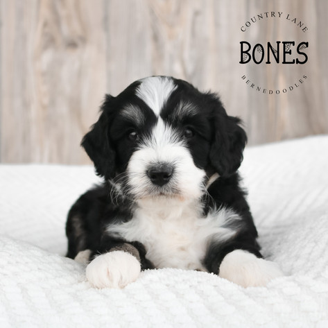 Male Red Collar - Bones