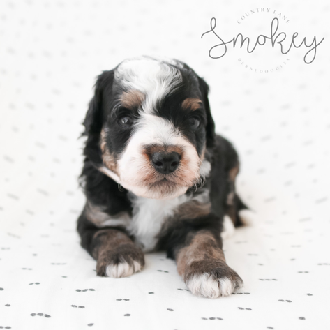 Male Grey Collar - Smokey