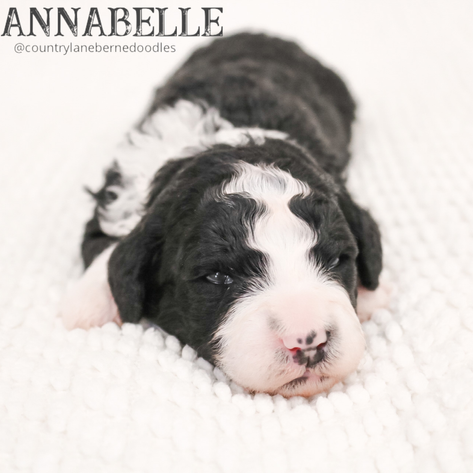 Female Pink Collar - Annabelle