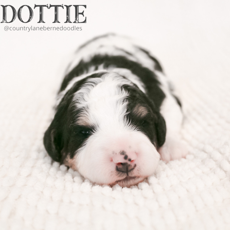 Female Black Collar - Dottie
