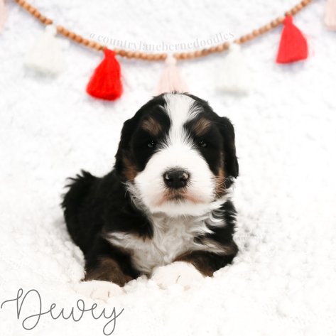 Male Black Collar - Dewey