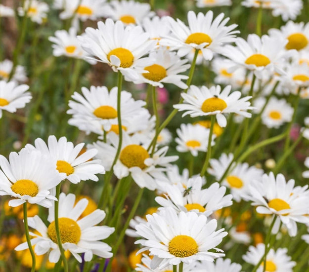 Oxe Daisy (wildflower) seeds