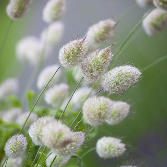 Bunny's Tails - ornamental grass seeds