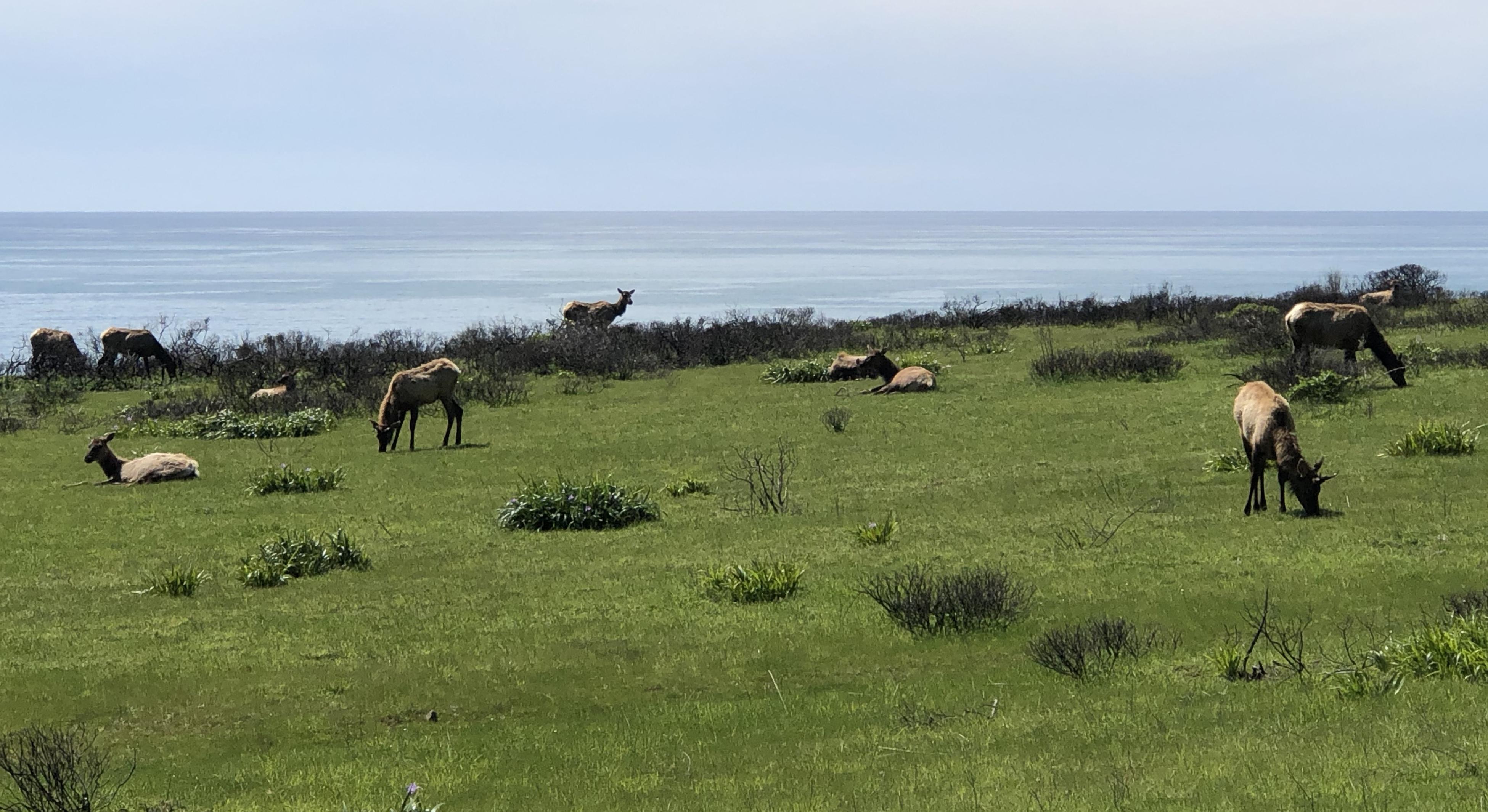 Elk in the Sinkyone