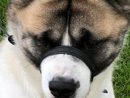 We Would Like To Introduce Rufus the Handsome Akita.