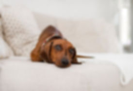 dog on a couch needs upholstery cleaning by Clean-Rite