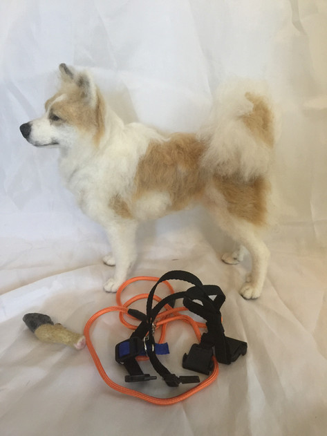Icelandic Sheepdog with accessories
