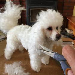ChicktinCreations.Poodle-trim