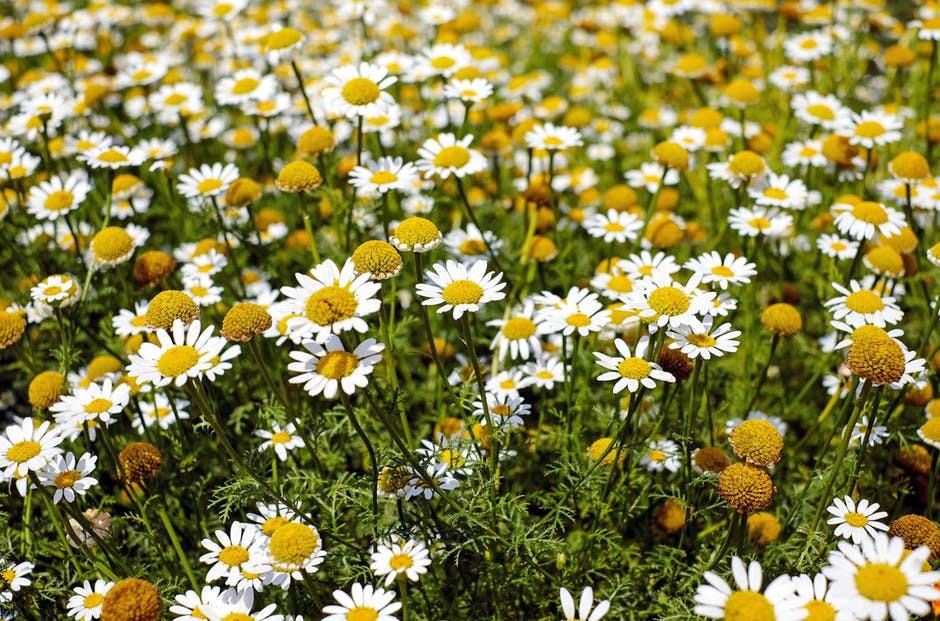 bertram-root-medicinal-herbs-flowers-blo