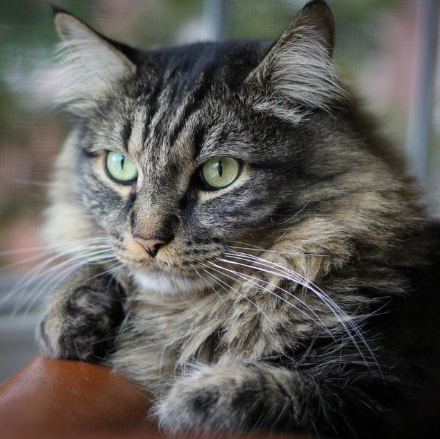 Amazing Cat Portraits - Chilling on the Couch.