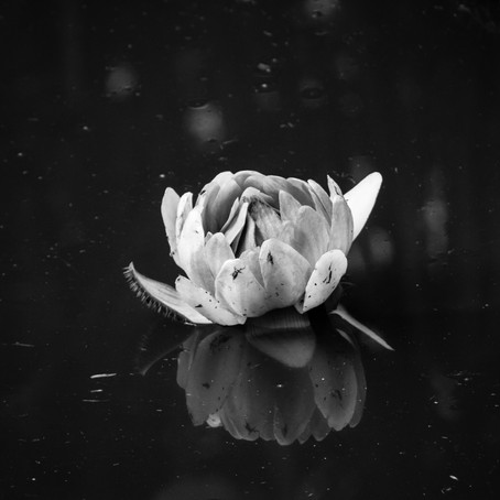 Lotus in the Water