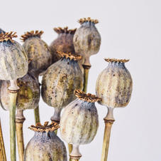 Poppy Heads, natural