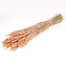 Wheat Coral