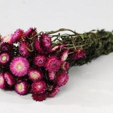Helichrysum, Dark Pink
