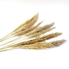 Pampas Grass Nautral