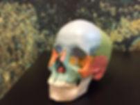 Manuelle Therapie für den Kiefer und Kopf - Schädel mit Knochenplatten