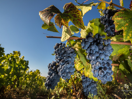 Summer Reds You Need to Know: Gamay