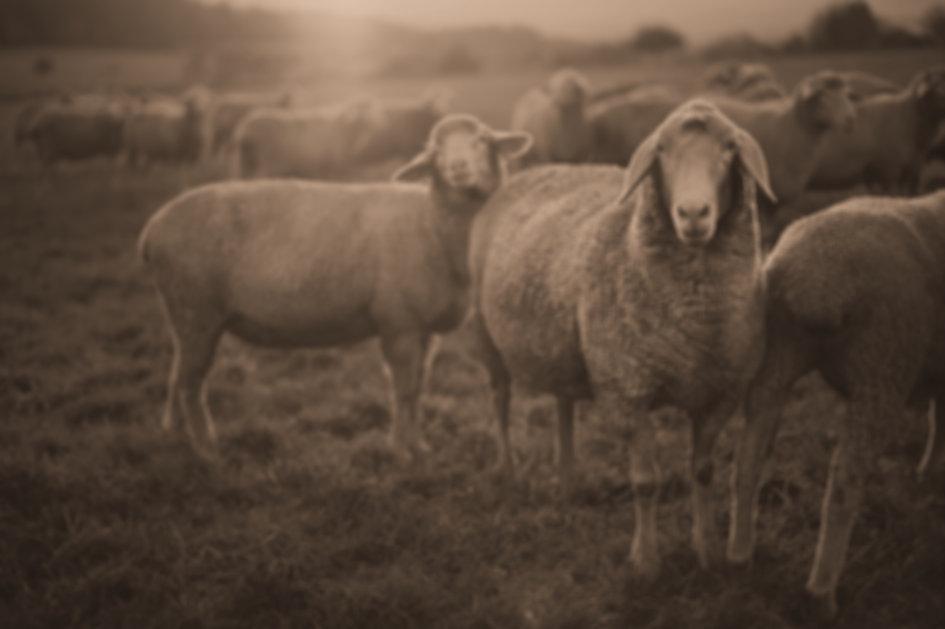 Sheep_edited_edited.jpg