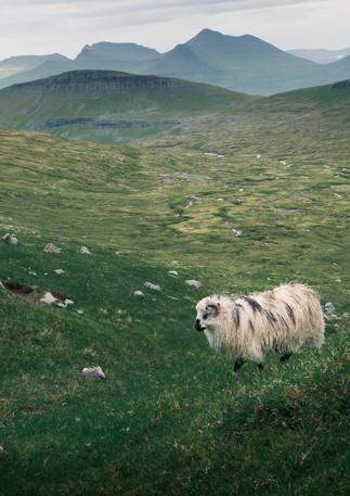 Schaf auf der Insel Streymoy, Färöer Inseln