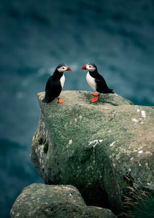 Papageientaucher auf Klippe, Färöer Inseln