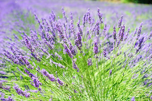 English Lavender pic.jpg