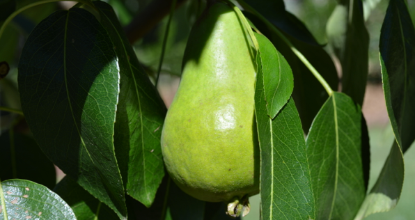 Yummy Pears
