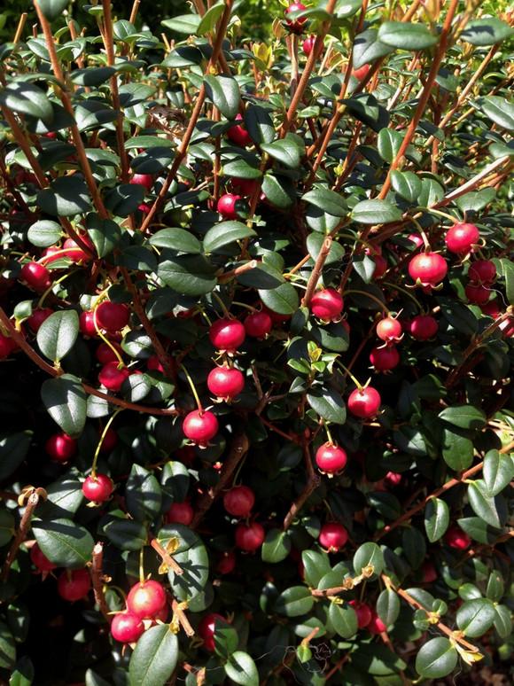 Delicious Strawberry Guava Hedge