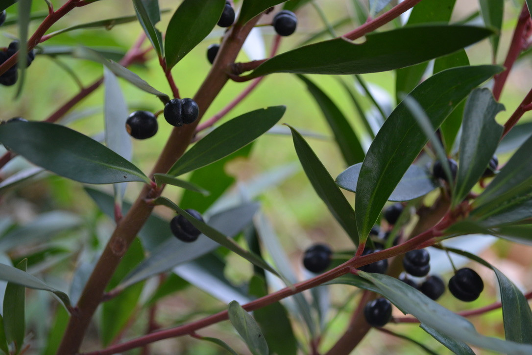 Tasmanian Mountain Pepper