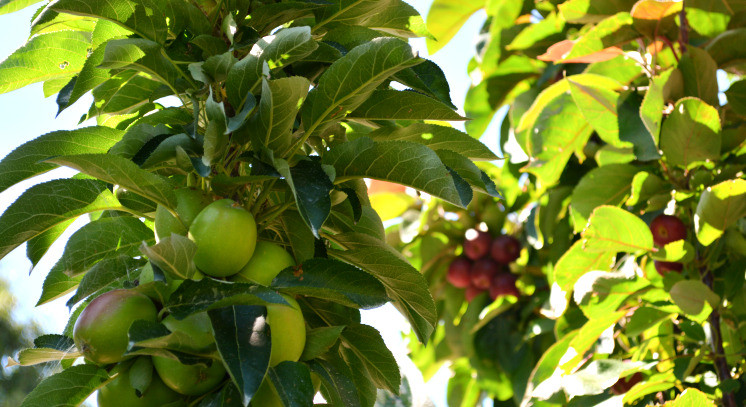 Fruiting Ballerina Apples