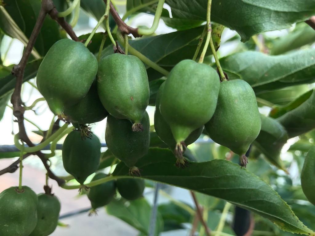 Kiwi Berries - natures lollies!