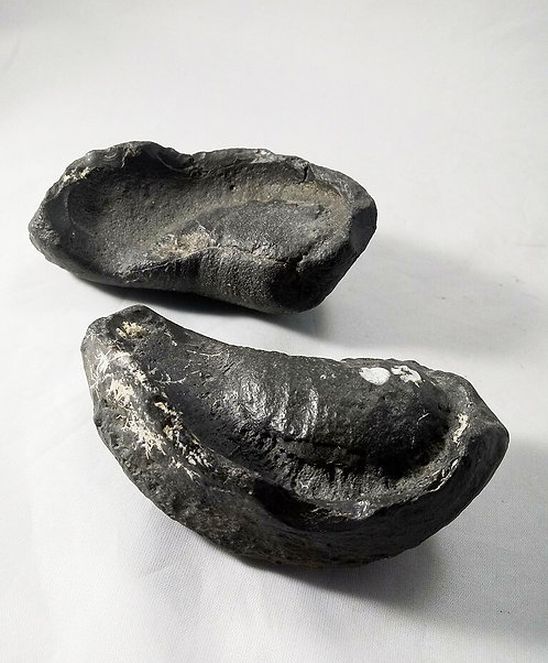 Whale Ear Fossilized Pair