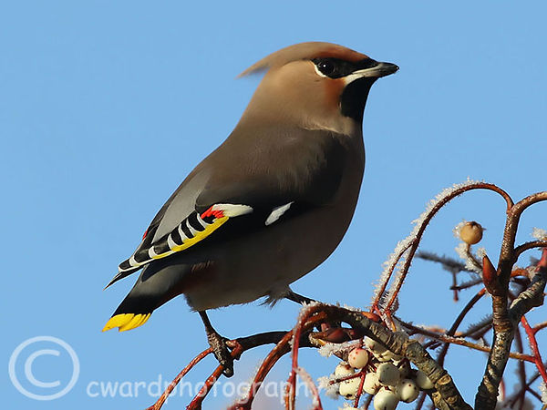 Waxwing (no.7) - Woburn, Beds Dec 2010 4