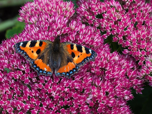 Ward 01.11.18 Small Tortoiseshell on Sed