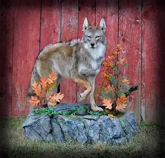 Coyote-seth.jpg