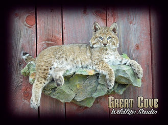 Bobcat-ledge.jpg