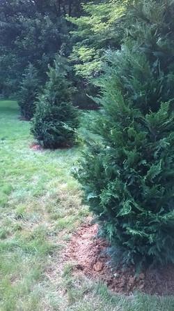 Planting Leyland Cypress
