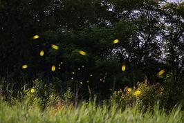 Fireflies.png