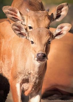 Doppelbanteng - Tierpark Hellabrunn - ©zoo-o-grafie - AWa