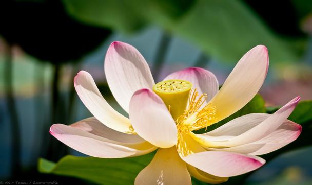 Lotus - © zoo-o-grafie - AWa